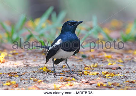 Oriental Magpie Robin Copsychus saularis Beautiful Male Birds of Thailand - Stock Photo