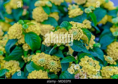 Top view of Yellow Lantana camara or in different names with big-sage (Malaysia), wild-sage, red-sage, white-sage , tickberry, verbena - Stock Photo