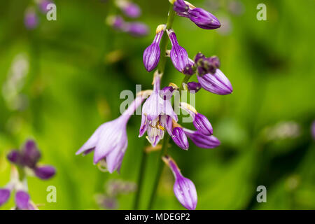 Hosta plant blooming in the morning sun - Stock Photo