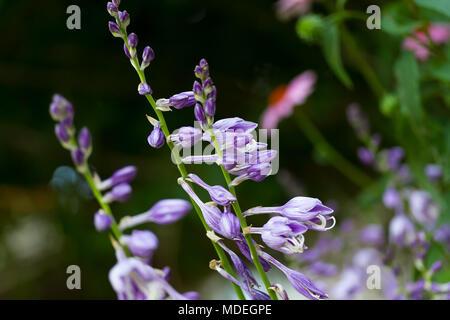 blooming Hostas plants in the garden - Stock Photo