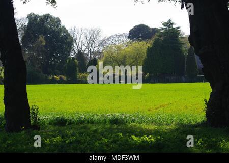 Vibrant Green Arable Field between Mighty Cypress oak Trunks with Arboretum Beyond. Powderham, Exeter, Devon, UK. April, 2018. - Stock Photo