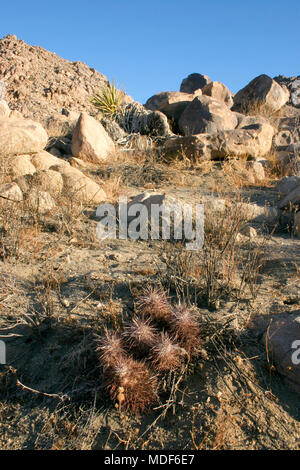 Group of cacti among stones Echinocereus engelmanii, Joshua Tree Landscape Yucca Brevifolia Mojave Desert Joshua Tree National Park California - Stock Photo