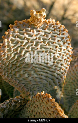 Chenille Prickly Pear Cactus, Opuntia aciculata. Mojave Desert Joshua Tree National Park - Stock Photo