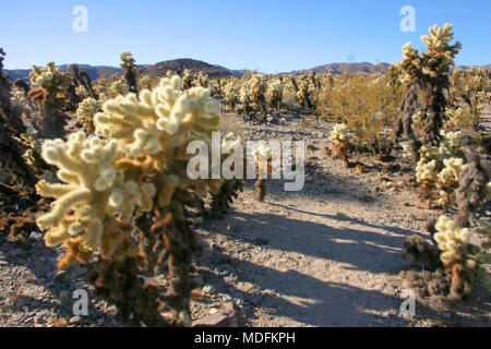 Cholla Cacti In The Ajo Mountains, Organ Pipe Cactus National Monument, Arizona - Stock Photo