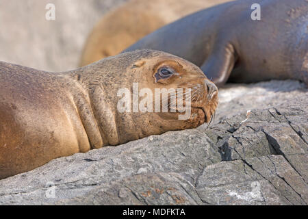 South American Sea Lion Close-up on Cape Horn in Tierra del Fuego, Chile - Stock Photo