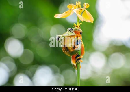 Wallace's flying frog (Rhacophorus Nigropalmatus) on a flower,west Sumatra,Indonesia - Stock Photo