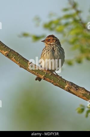 Little Bunting (Emberiza pusilla) adult perched on branch  Beidaihe, Hebei, China       May - Stock Photo