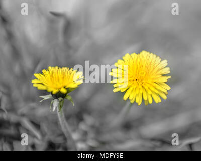 Two yellow dandelions on a gray background. Close-up. - Stock Photo