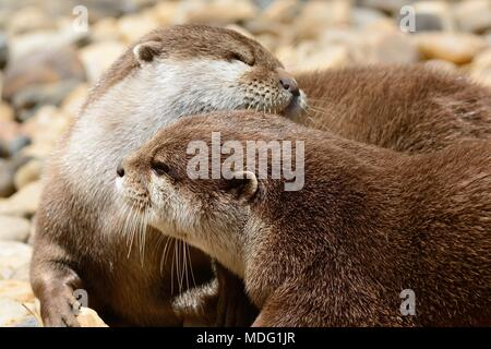 Portrait of two otters cuddling - Stock Photo