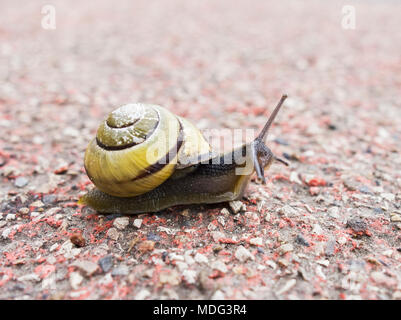 The Brown-lipped snail, Cepaena nemoralis, also known as the grove snail in North-east England, UK. - Stock Photo