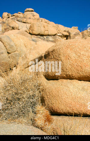 Echinocereus engelmani.  Group of cacti among stones, Mojave Desert, Joshua Tree National Park, California - Stock Photo