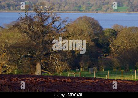 Mature Leafless English Oak Trees in Ploughed Devon Farmland with the Exe Estuary Beyond. Powderham Estate, Exeter, Devon, UK. April, 2018. - Stock Photo