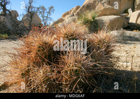 Cacti Echinocreus, Mojave Desert Joshua Tree National Park California - Stock Photo