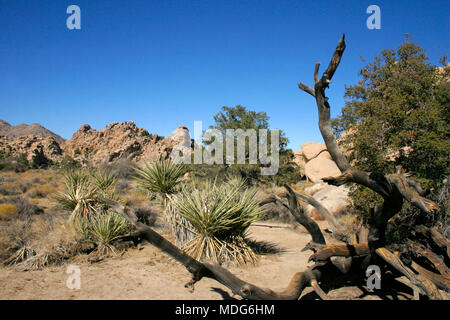 Rock Climb Joshua Tree Big Rocks Yucca Brevifolia Mojave Desert Joshua Tree National Park California - Stock Photo