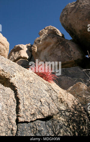 Ferocactus cylindreus among the stones, Cacti with red prickles among stone rocks - Stock Photo