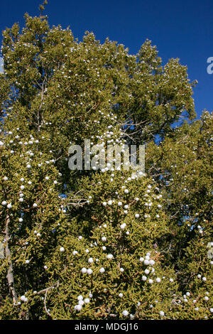 Berries, fruits on juniper. Mojave Desert, Joshua Tree National Park, California - Stock Photo
