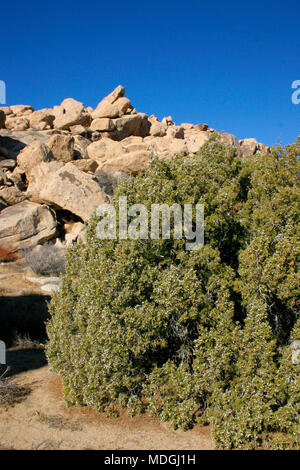 Berries, fruits on juniper. Mojave Desert, Joshua Tree National Park, California - Stock Photo