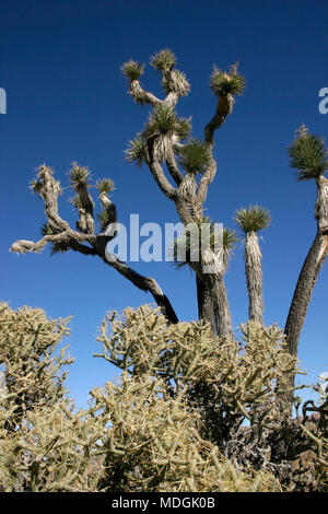Many Branches Joshua Tree Yucca Brevifolia Mojave Desert Joshua Tree National Park California - Stock Photo