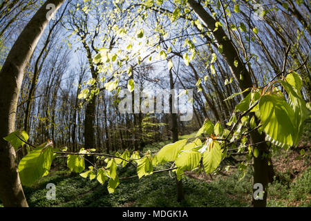 Beech leaves starting to appear  after a long winter in woodland in North Dorset England UK April 19 2018. - Stock Photo