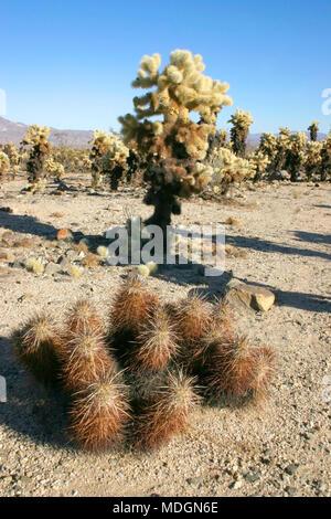 Group of cacti among stones Echinocereus engelmani, Cholla Cacti, Joshua Tree Landscape Yucca Brevifolia Mojave Desert Joshua Tree National Park Calif - Stock Photo