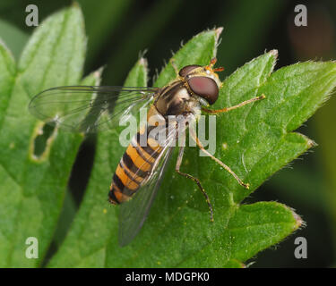 Marmalade Hoverfly female (Episyrphus balteatus) perched on leaf. Tipperary, Ireland - Stock Photo