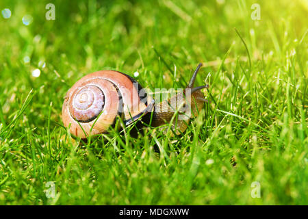Grove snail or brown-lipped snail, Cepaea nemoralis, sliding through fresh green grass. Closeup of land snail with spiral shell on meadow. - Stock Photo