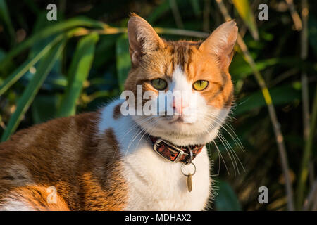Domestic shorthair ginger and white cat with collar and disc head and shoulders portrait against bamboo plant background in garden - Stock Photo