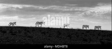 Five zebras walking in a row at sunset; Sossusvlei, Hardap Region, Namibia - Stock Photo