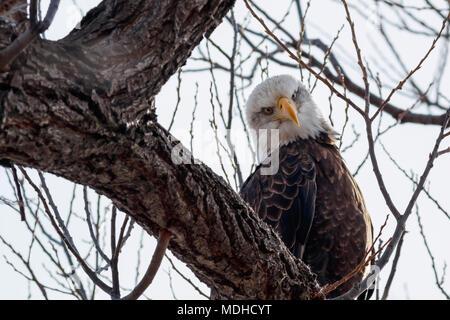Bald eagle (Haliaeetus leucocephalus) sitting on a branch, Lower Klamath National Wildlife Refuge; Tulelake, California, United States of America - Stock Photo