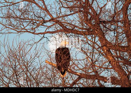 Bald eagle (Haliaeetus leucocephalus) sitting in a tree with the moon in the background, Lower Klamath National Wildlife Refuge - Stock Photo