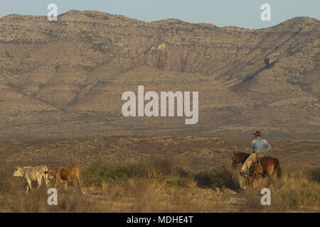 Cowboy looking for stray cattle on a West Texas ranch Stock Photo