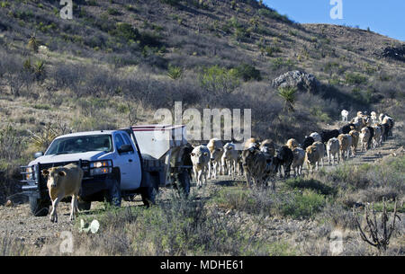 Cattle round-up before shipping on a West Texas ranch - Stock Photo