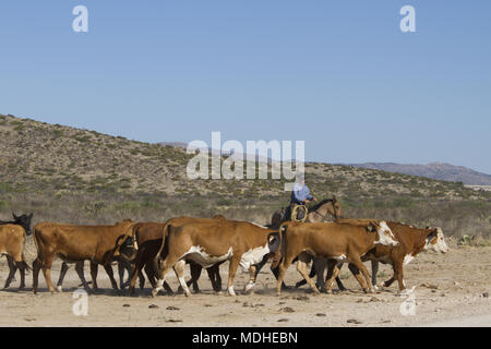 Cowboy working cattle during a round-up on a West Texas ranch - Stock Photo