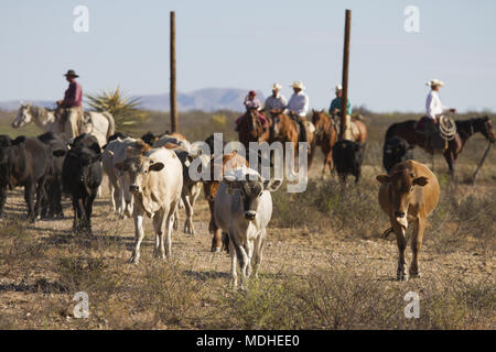 Cowboys driving cattle on a West Texas Ranch at the end of a round-up day - Stock Photo