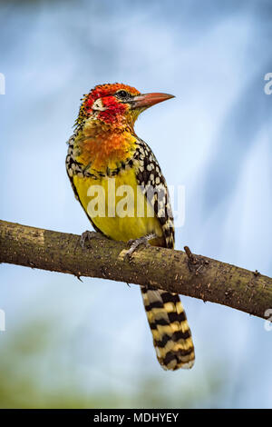 Red-and-yellow barbet (Trachyphonus erythrocephalus) on branch with head turned; Tanzania - Stock Photo