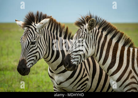 Close-up of two plains zebra (Equus quagga) standing side-by-side, Ngorongoro Crater; Tanzania - Stock Photo