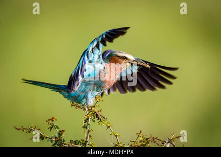Lilac-breasted roller (Coracias caudatus) lands on branch carrying grasshopper, Serengeti National Park,; Tanzania - Stock Photo