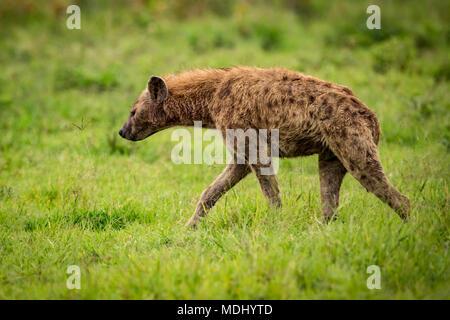Spotted hyena (Crocuta crocuta) walks through grassland in profile, Ngorongoro Crater; Tanzania - Stock Photo