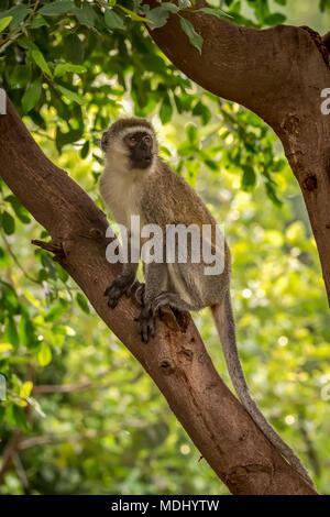 Vervet monkey (Chlorocebus pygerythrus) sitting in tree looking right, Serengeti National Park; Tanzania - Stock Photo