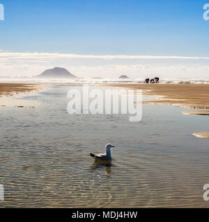 A sea gull with fishermen looking for shell fish on Papamoa Beach with Mount Maunganui in the background. - Stock Photo