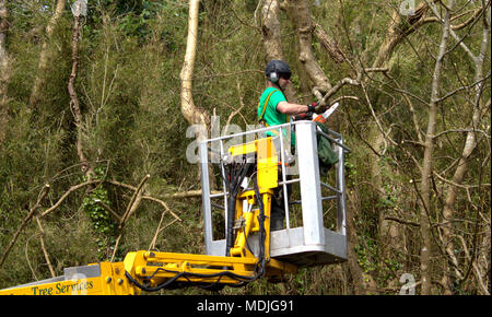 lumberjack, tree surgeon on a high mobile platform using a chainsaw,to prune back overgrown tree's, wearing the correct protective clothing. - Stock Photo