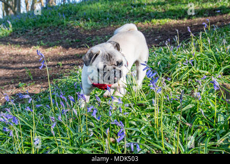 Newlyn, Cornwall, UK. 20th April 2108. UK Weather. Titan the pug out in the Bluebells wood at Newlyn, which have sprung into bloom in the warm weather over the last few days. Credit: Simon Maycock/Alamy Live News - Stock Photo