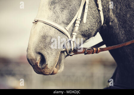 Muzzle of a gray horse in a bridle. - Stock Photo