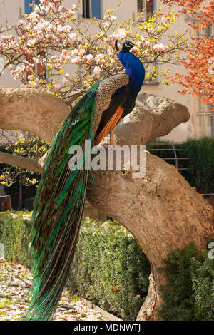 The portrait of the peacock sitting on the massive branch of the old tree in the beautiful garden during bright suuny spring day. - Stock Photo