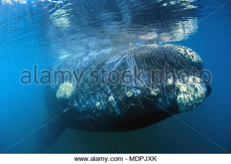 Southern Right Whale, (Eubalaena australis), callosities with barnacles (Balanidae) and whale lices (cyamids), Valdes peninsula, Patagonia, Argentinia - Stock Photo