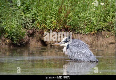 Detailed close-up side view of isolated UK grey heron bird (Ardea cinerea) wading in water, crouching down, creeping stealthily, hunting for fish. - Stock Photo
