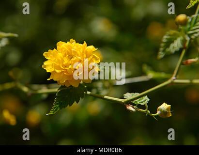 Flower of Kerria japonica in Beijing Botanic Garden, Beijing, China, in spring - Stock Photo