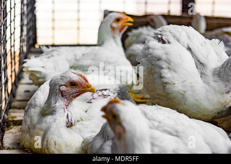 white broiler murgi chickens in a cage at retail supermarket meat shop - Stock Photo