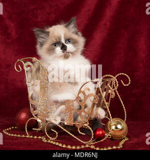 Baby ragdoll kitten with blue eyes sitting in a christmas sleigh with christmas decoration on a burgundy velvet plain background - Stock Photo