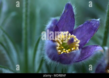 Flowering Pasque Pulsatilla vulgaris - Stock Photo